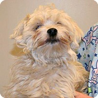 Lhasa Apso Mix Dog for adoption in Wildomar, California - Gerry
