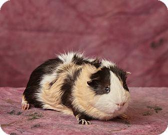 Guinea Pig for adoption in Harrisonburg, Virginia - Jesse