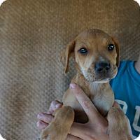 Adopt A Pet :: Koda - Oviedo, FL