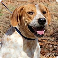 Adopt A Pet :: Benny - Glastonbury, CT