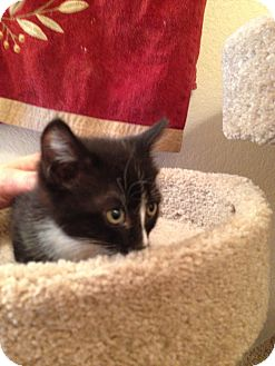 Domestic Shorthair Kitten for adoption in Fountain Hills, Arizona - BENNY