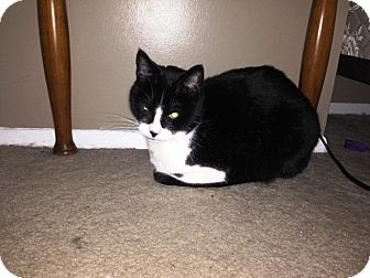 Domestic Shorthair Cat for adoption in Cleveland, Ohio - Franklin