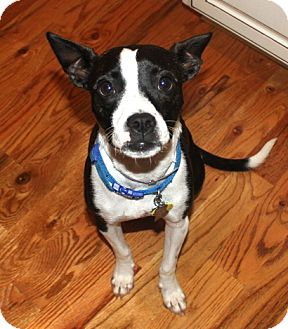 boston terrier jack russell bobo adopted dog north augusta sc boston terrier 6222