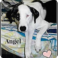 Adopt A Pet :: Angel - Silsbee, TX