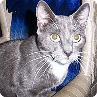 Adopt A Pet :: Bullwinkle - Albany, NY