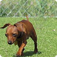 Adopt A Pet :: Rambo - Meridian, ID