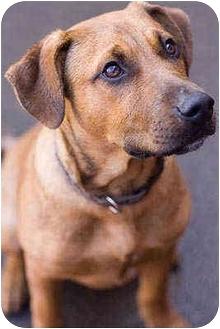 Kai   Adopted Puppy   Portland, OR   Rhodesian Ridgeback ...