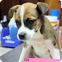 Adopt A Pet :: Juju - Naugatuck, CT