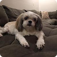 Adopt A Pet :: Bonnie Blue - Naples, FL