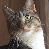 Domestic Shorthair Cat for adoption in Stanhope, New Jersey - Tabitha