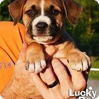 Adopt A Pet :: Tank - Washington, DC