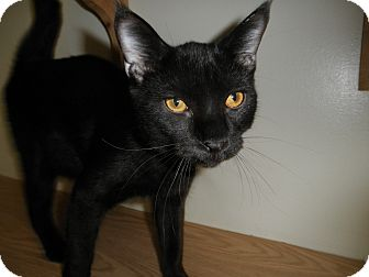 Domestic Shorthair Cat for adoption in Milwaukee, Wisconsin - Valiant
