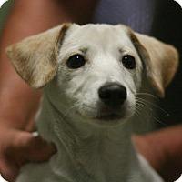 Adopt A Pet :: Levi - Canoga Park, CA