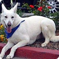 German Shepherd Dog/German Shepherd Dog Mix Dog for adoption in Mira Loma, California - Macey