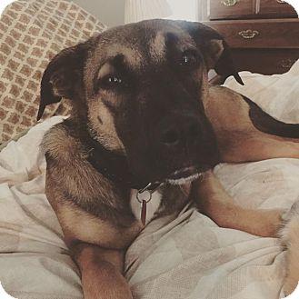 German Shepherd Dog Mix Dog for adoption in Nashua, New Hampshire - Gabby