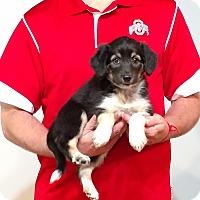 Adopt A Pet :: Bella - New Philadelphia, OH