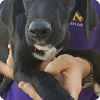 Adopt A Pet :: Carter~meet me! - Glastonbury, CT