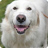 Great Pyrenees Dog for adoption in Beacon, New York - Snowy in CT - pending