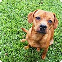 Adopt A Pet :: Beets - New Bern, NC
