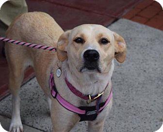 Labrador Retriever Dog for adoption in Willingboro, New Jersey - Luna