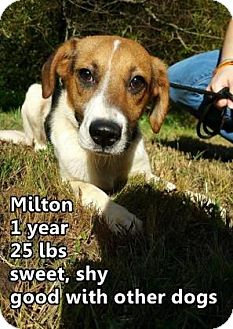 Jack Russell Terrier/Beagle Mix Dog for adoption in Woodstock, Illinois - Milton