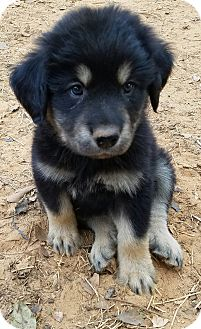 Great Pyrenees/Shepherd (Unknown Type) Mix Puppy for adoption in Manchester, New Hampshire - Moose - pending
