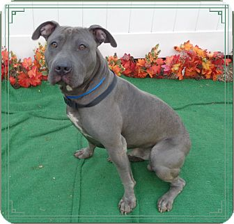 Pit Bull Terrier/American Pit Bull Terrier Mix Dog for adoption in Marietta, Georgia - ARIES