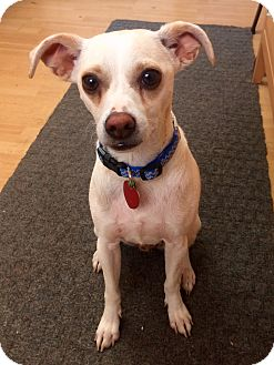 Chihuahua Mix Dog for adoption in Manchester, Connecticut - Shorty in CT