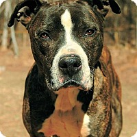 Adopt A Pet :: Butch - Greenville, SC