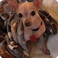 Adopt A Pet :: Bella - Hurst, TX