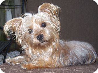 maltese yorkie mix price lucy adopted dog cape coral fl maltese yorkie 1100