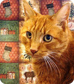Domestic Shorthair Cat for adoption in Albany, New York - Kirra