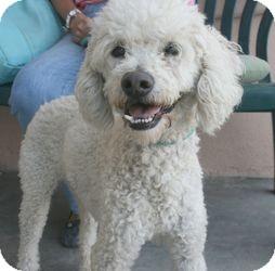 Poodle (Miniature) Dog for adoption in Canoga Park, California - Max