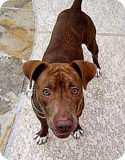 Pit Bull Terrier/Staffordshire Bull Terrier Mix Dog for adoption in Houston, Texas - Nevada