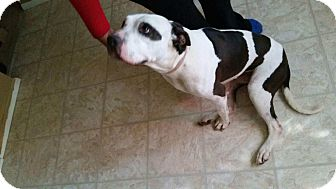American Pit Bull Terrier Mix Dog for adoption in St. Charles, Missouri - Keyora/Courtesy Posting!