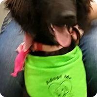 Adopt A Pet :: Cora - St Louis, MO