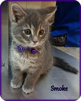 Smoke Adopted Kitten Lincoln Ne Domestic Longhair