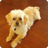 shih tzu rescue ohio urbana oh shih tzu mix meet roscoe a dog for adoption 1335