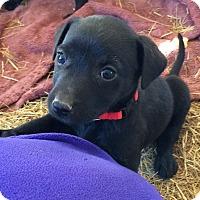Adopt A Pet :: Gretchen AD 01-16-16 - Preston, CT