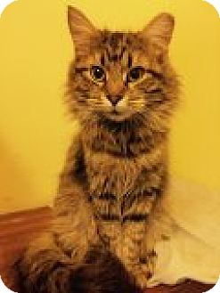 Domestic Longhair Cat for adoption in Delmont, Pennsylvania - Flannery