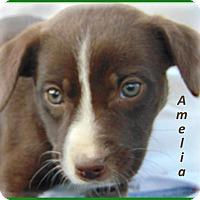 Adopt A Pet :: Amelia-Adoption Pending - Marlborough, MA