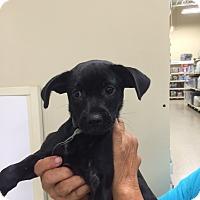 Adopt A Pet :: Rebecca - Hohenwald, TN