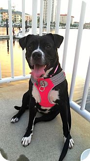 Collie/Labrador Retriever Mix Dog for adoption in Palm Harbor, Florida - Adele