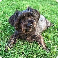 Adopt A Pet :: Sophie - MCKINNEY, TX