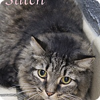 Domestic Mediumhair Cat for adoption in Bradenton, Florida - Stitch