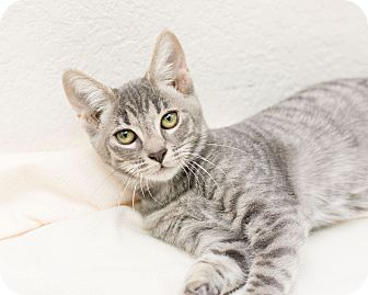 Domestic Shorthair Kitten for adoption in Fountain Hills, Arizona - Danny