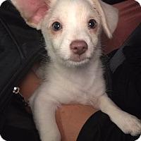 Adopt A Pet :: Chester, 14 week Corgi-Terrier mix puppy - Arlington, WA