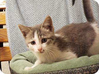 Domestic Mediumhair Cat for adoption in Shelby, Michigan - Harper
