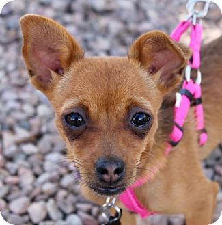 Chihuahua Mix Puppy for adoption in Albuquerque, New Mexico - Lucy