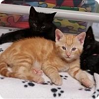 Adopt A Pet :: Alba K3 Aka Archie - Sherwood, OR
